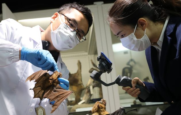 18/04/2020 Shanghai. Il Dr. Zhang Wei analizza la struttura del corpo dei pipistrelli. Il Museo di Storia...