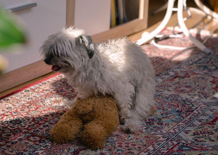 Perro se monta a peluche en el salón de casa.