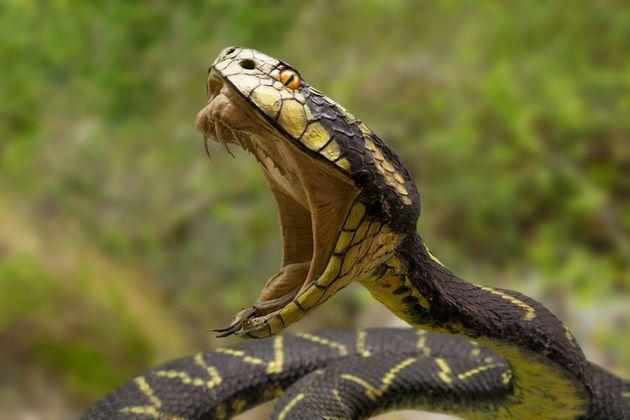 Les êtres humains possèdent, comme les serpents, des gènes théoriquement liés...
