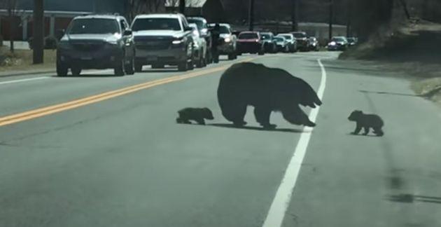 '육아는 힘들어' 엄마 곰이 네 마리의 아기 곰을 데리고 길을 건너는 모습에 많은 운전자들이 응원을 보냈다