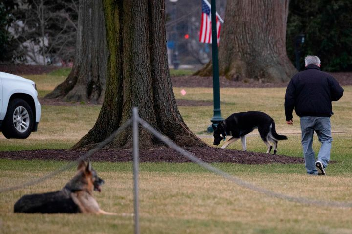 First dogs Champ and Major Biden on the South Lawn of the White House shortly after moving in back in January.