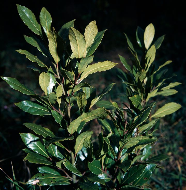 Fresh leaves on the branches of a bay laurel.