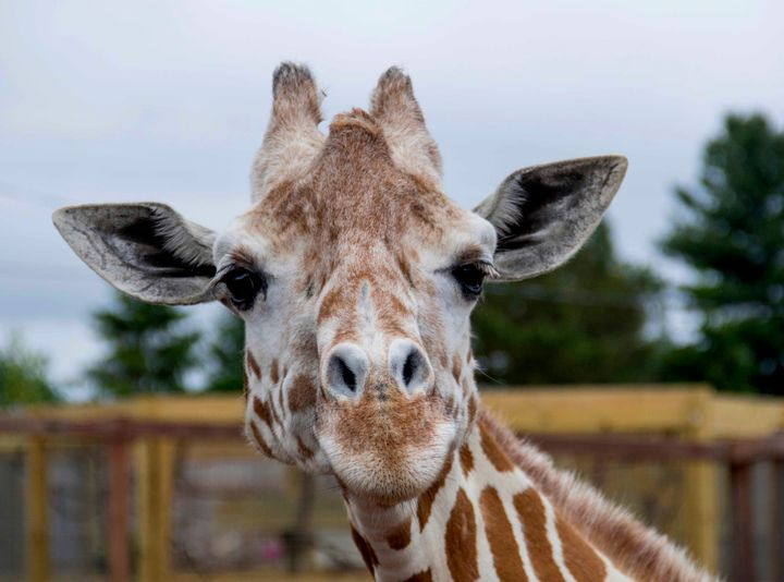 April the giraffe in an undated photo from Animal Adventure Park.