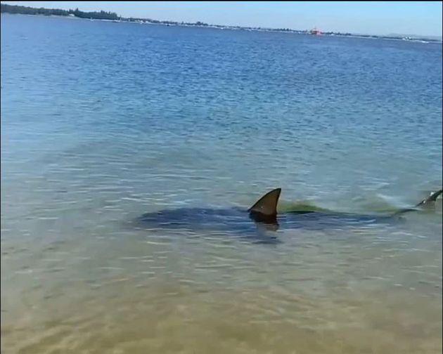 Βίντεο: Καρχαρίας δύο μέτρων τρομοκρατεί λουόμενους σε παραλία της