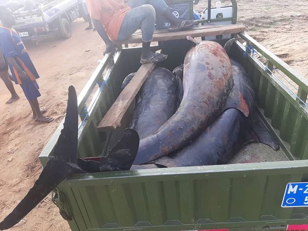 Γκάνα: Μυστήριο με δεκάδες δελφίνια που ξεβράστηκαν νεκρά στις