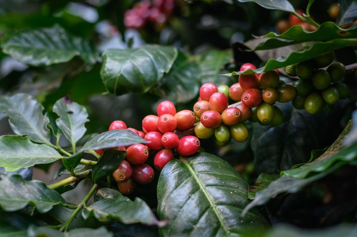 "A coffee ""bean"" is actually the seed you'll find inside this fruit, which is also called a coffee ""cherry."""