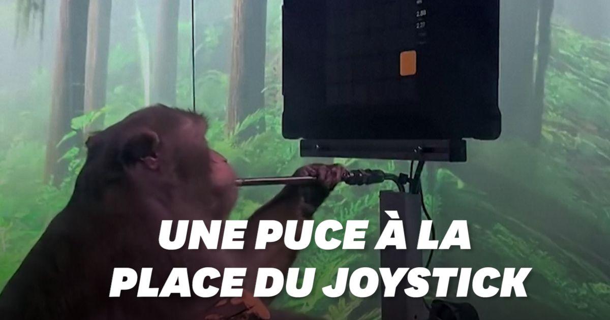Après les cyber-cochons, Elon Musk présente un singe jouant aux jeux vidéo grâce une puce