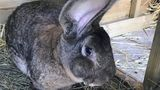 Darius, a Continental Giant rabbit who holds the Guinness World Records citation for the world's longest rabbit, disappeared from his enclosure in a backyard in the village of Stoulton over the weekend.