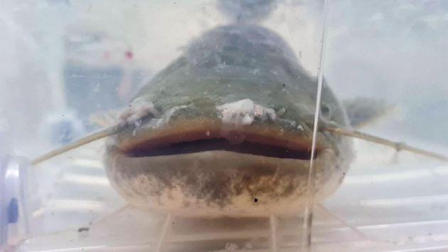 Siluro, especie de pez