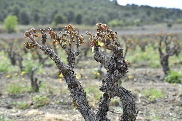Des bourgeons de vigne endommagés par le gel à Estagel, près de Perpignan, le 13...