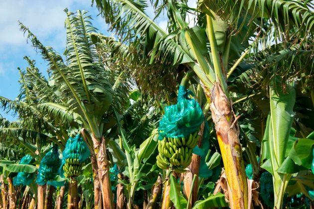 Des bananes sont recouvertes de feuilles d'aluminium contre les oiseaux, les insectes et la lumière...