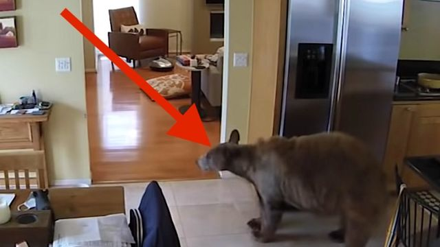 2 Fearless Little Terriers Chase Trespassing Bear Out Of Their House.jpg