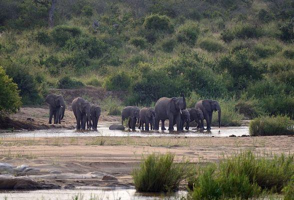 Des éléphants dans le parc national Kruger en Afrique du Sud. (image