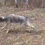 ΗΠΑ: Κάμερα στο κολάρο άγριου λύκου καταγράφει για πρώτη φορά την καθημερινότητα