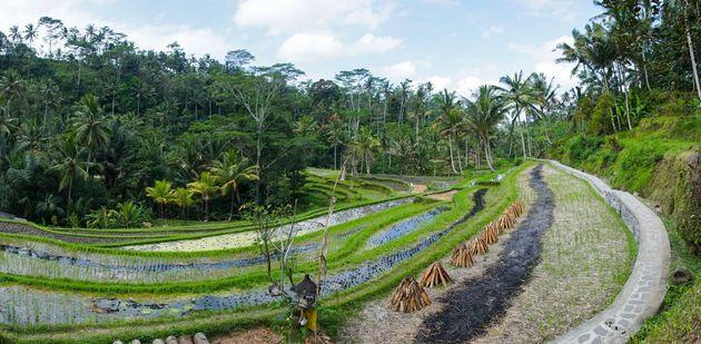 À Bali, les Aborigènes pratiquent l'agriculture au milieu d'une forêt tropicale riche...