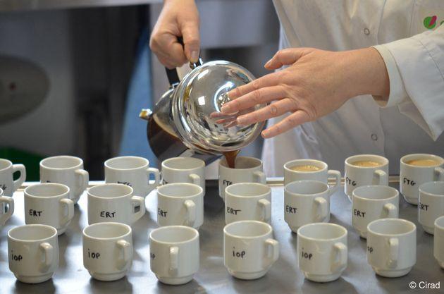 Une ancienne variété de café plus résistante aux chaleurs a fait ses preuves...