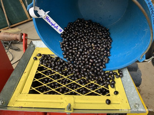 La variété coffea stenophylla pousse dans un environnement ombragé, propice à...