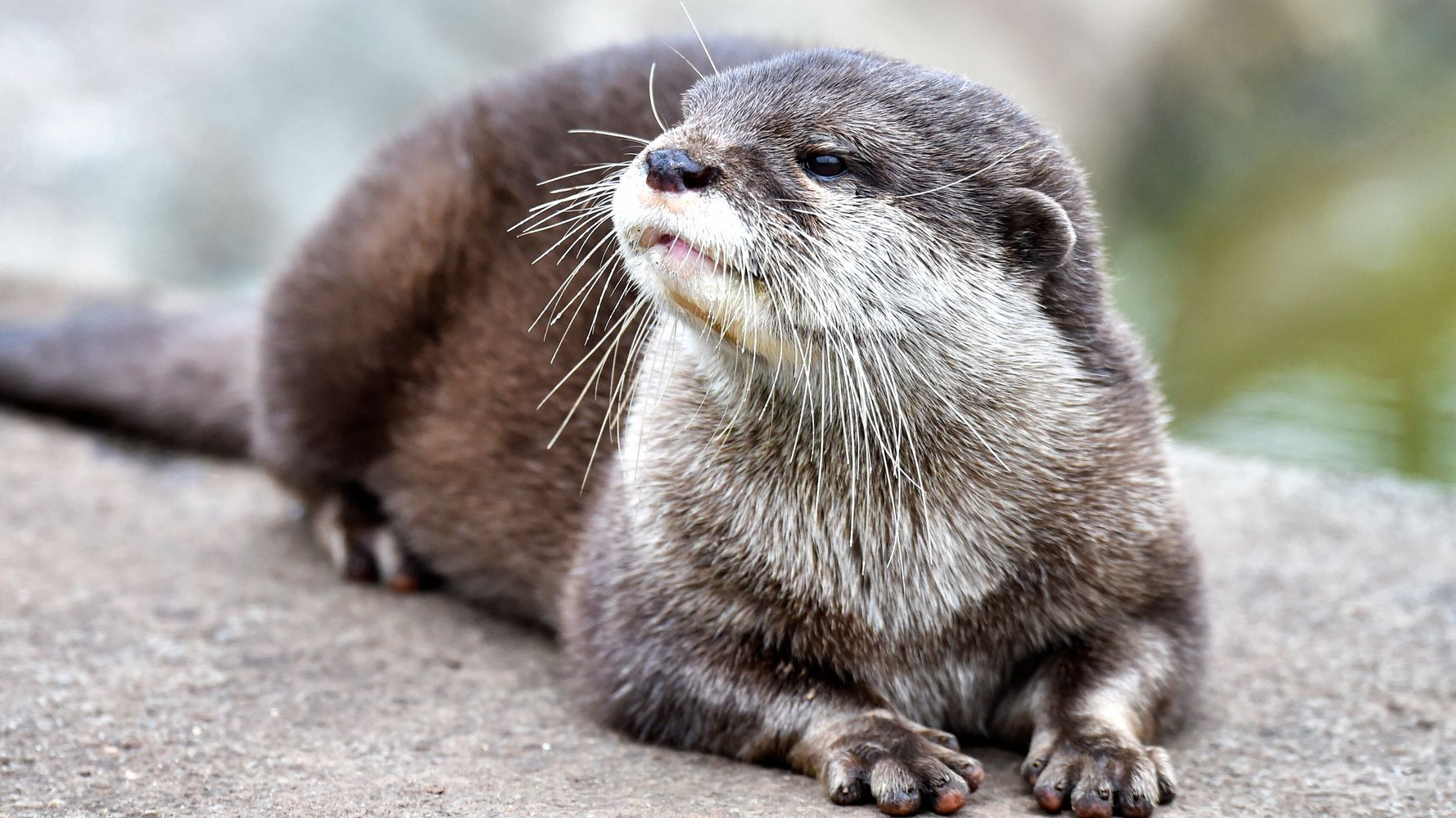 Turns Out Otters Can Get COVID-19, Too