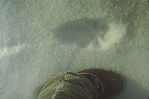눈밭에 찍힌 캐나다 스라소니의 발자국. 환경디엔에이 연구자들은 이 눈 속에서 동물의 유전정보를