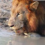 ライオン、カメに何度も頭をくっつけられてタジタジになってしまう【動画】