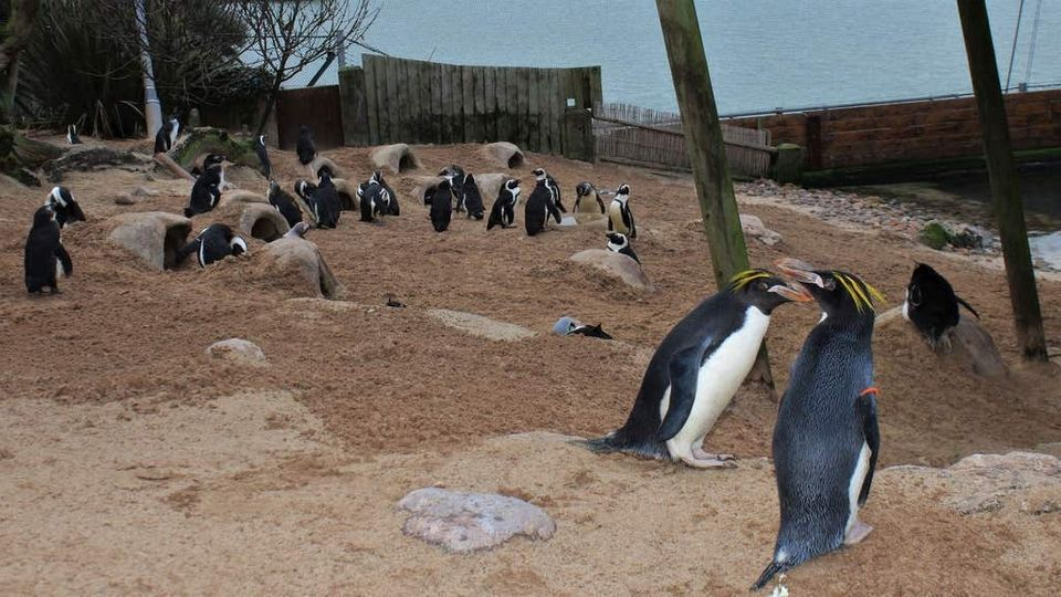 The Living Coasts penguins in happier times.