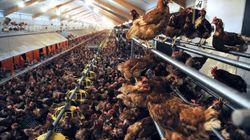 Les œufs de poules élevées au sol ne sont pas ce que vous