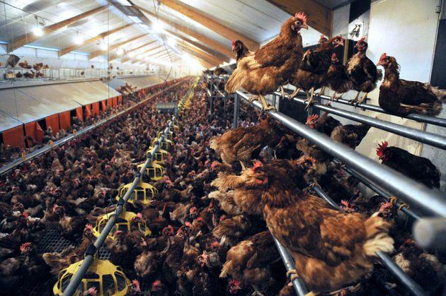Un élevage intensif de poules àLouannec dans l'ouest de la France, le 27 août