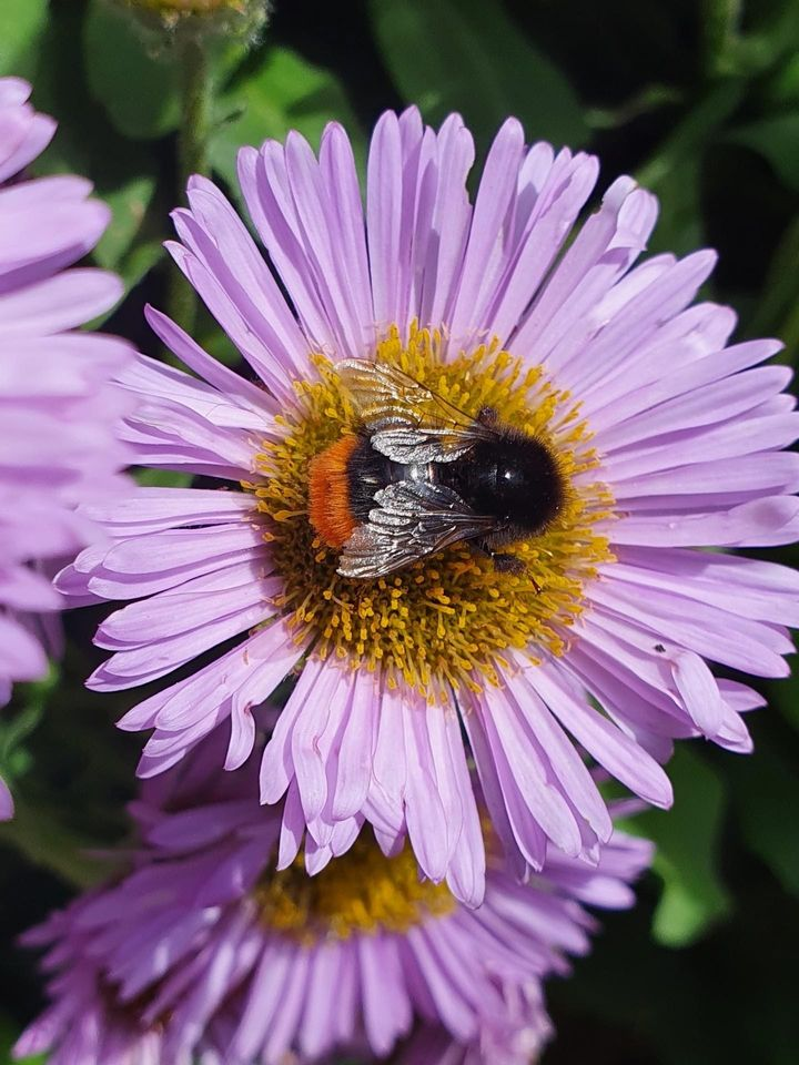 A bumblebee at work, taken by Charlotte McDermott from the Isle of Wight.