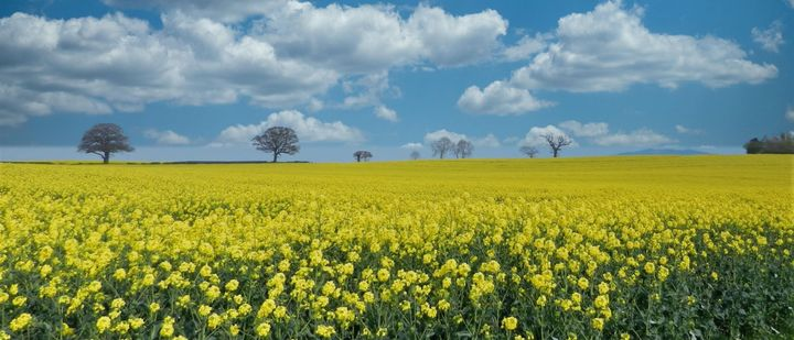"""Tanya Wightman, from Warrington, says she was""""stunned by the Rapeseed colours"""" when she dr past this field, so she pulled over the take a snap."""