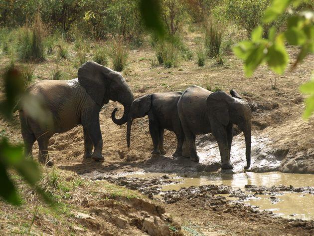Unos elefantes, bebiendo en Burkina