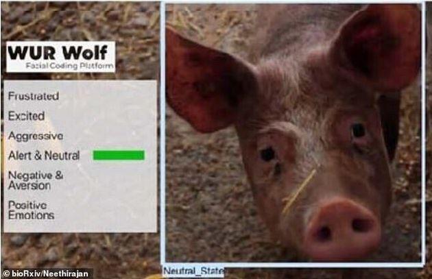 돼지가 귀를 앞쪽으로 기울이는 것은 경계심을 표현하는