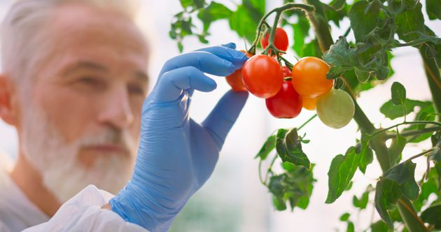 Close-up of mature male botanist examining growth of hydroponic tomato plant in