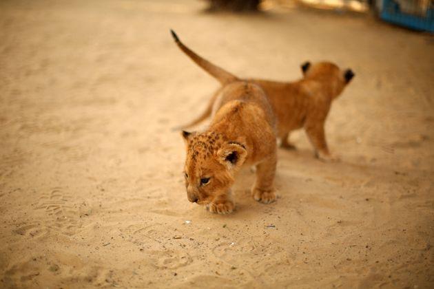 Τέλος στην εκτροφή λιονταριών για κυνήγι θέλει να βάλει η Νότια Αφρική - Για το κυνήγι ούτε