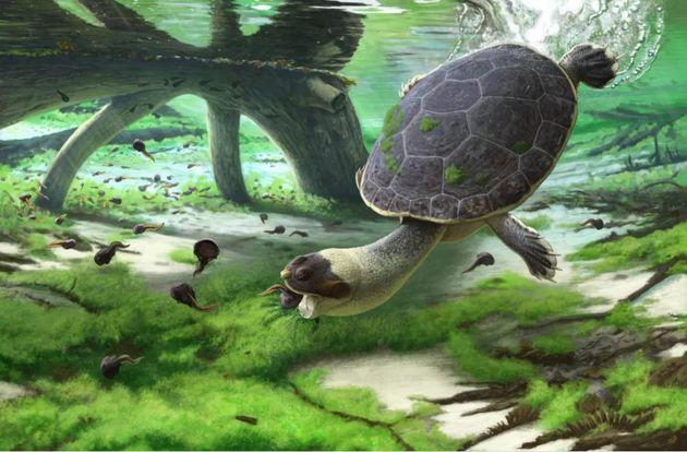 Reconstitution de la tortue-grenouille à bouche rapide (Sahonachelys mailakavava) mangeant des tétards...