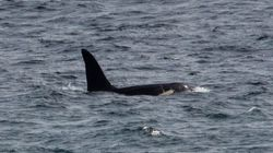 'Rare And Beautiful' Killer Whales Spotted Off The Coast Of