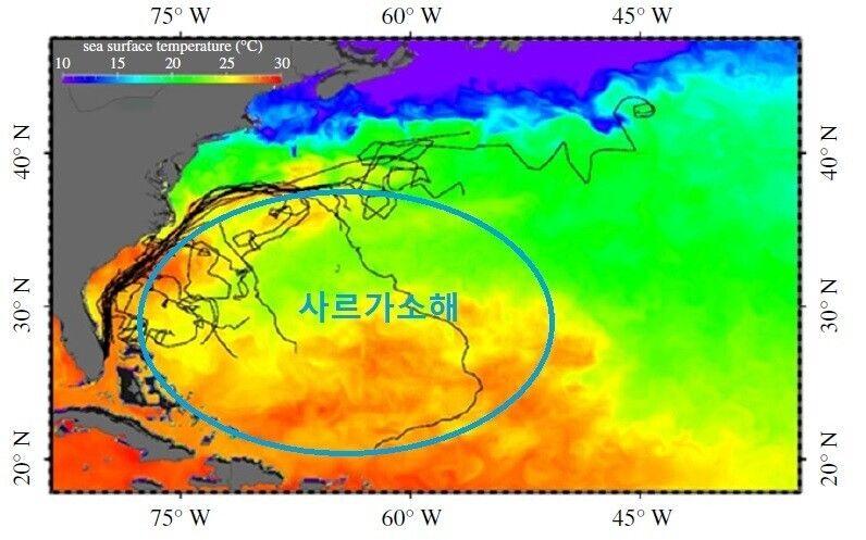 푸른바다거북의 이동 경로. 멕시코만류를 따라 북상하다 상당수가 조류를 벗어나 사르가소해로 향한 궤적을 볼 수