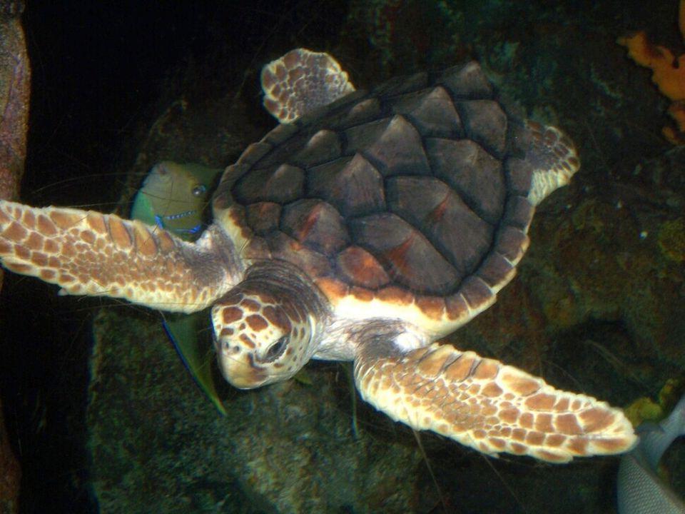 붉은바다거북은 등딱지가 붉은빛이다. 푸른바다거북과 마찬가지로 사르가소해에서 성장기를 거치는 것으로