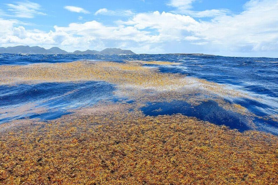 사르가소해의 모자반 해조류가 폭풍으로 해안으로 밀려온