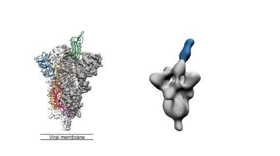 A sinistra il modello della struttura tridimensionale della proteina SPIKE da Covid 19, nello stato di...