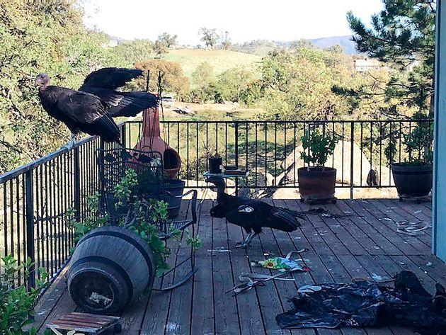 Κόνδορες στην Καλιφόρνια