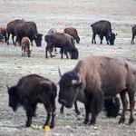Plus de 45.000 candidats en 2 jours pour tuer des bisons dans un parc naturel