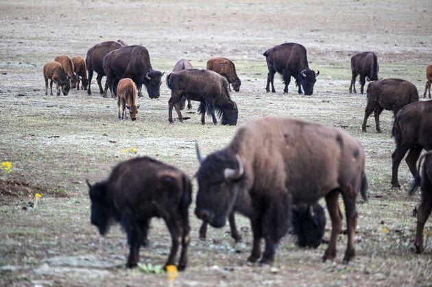 Plus de 45.000 personnes se sont portées volontaires pour tuer 12 bisons dans le parc du Grand Canyon,...