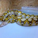 横浜市で逃走したアミメニシキヘビの写真がこれだ。体重13キロ、「見つけても近づかないで」