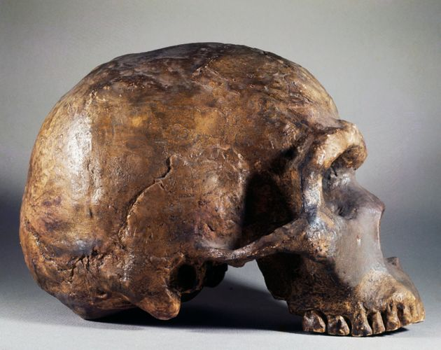 ITALY - JUNE 15: Neanderthal fossil skull (Homo neanderthalensis), profile, found in Mount Circeo, Lazio,...