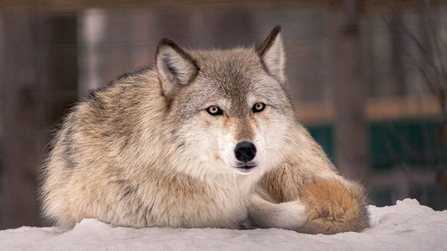 Idaho Gov. Signs Bill To Allow Killing 90% Of State's Wolves.jpg