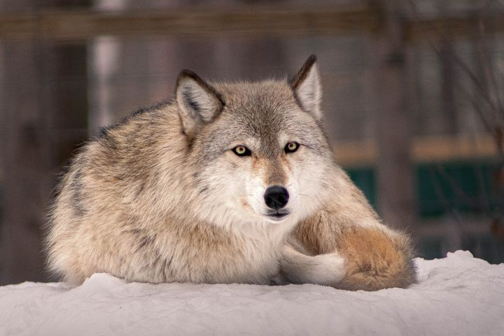 Idaho Gov. Brad Little signed a bill into law this week that will allow the state's wolf population to drop from 1,500 to 150