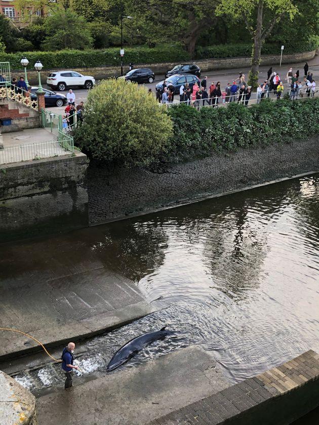 Διασώστες έσωσαν φάλαινα που «εξόκειλε» στον