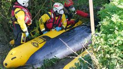 A Small Minke Whale Stranded In The River Thames Is To Be Put