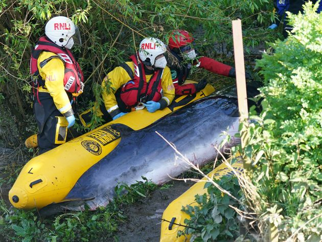 Members of the RNLI attempt to assist a Minke whale at Teddington
