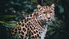 3 Leopards Escaped A Chinese Zoo. The Zoo Didn't Tell Anyone For Weeks.